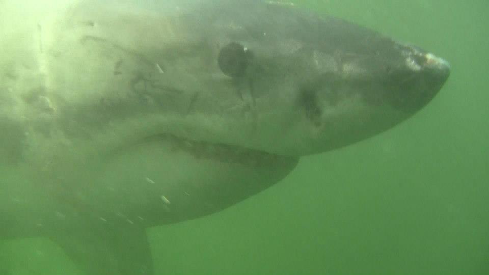 Lo squalo bianco fotografato di profilo.
