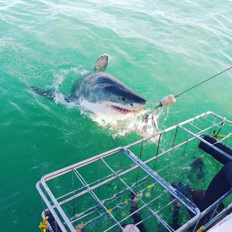 Uno squalo bianco azzanna di fronte alla gabbia una testa di tonno legata ad una corda, gettata gettata dalla barca. All'interno della gabbia dei turisti in cerca di avventura.