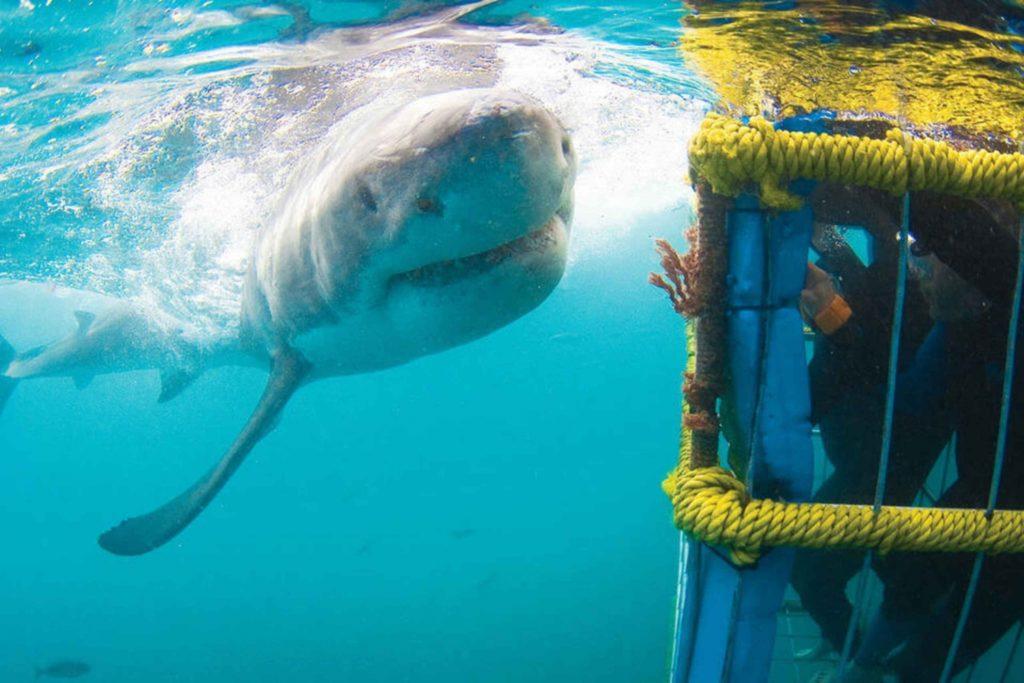 Persone chiuse in una gabbia immersa sott'acqua e uno squalo bianco che nuota davanti una avventura indimenticabile.