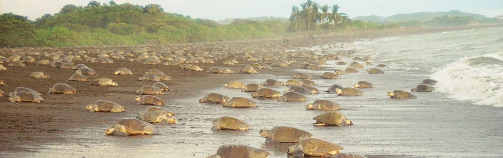 decine di tartarughe in riva ad una spiaggia