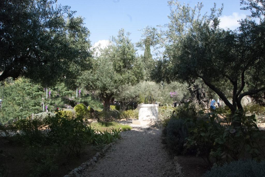 il giardino del getsemani con gli ulivi dove jesus pregava
