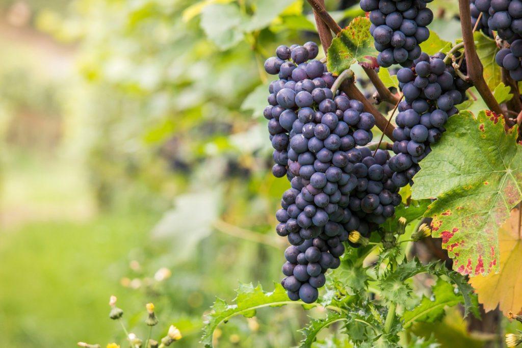 dei grappoli d'uva rossa attaccati alla vite per fare il vino brunello, cin foglie di vite verde intorno