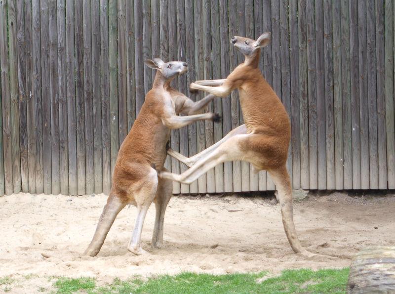 tra gli animali pericolosi, due canguri che combattono in un cortile, dietro c'è un cancelletto in legno