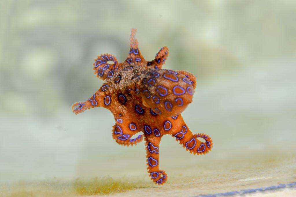tra gli animali più pericolosi al mondo, un piccolo polpo arancione ad anelli blu che nuota libero al largo delle coste africane