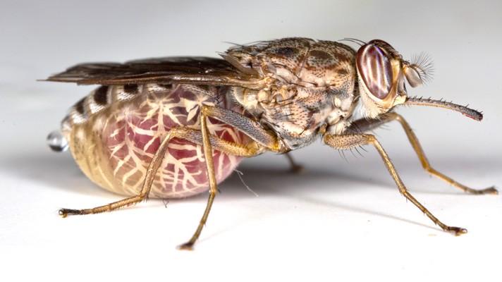 mondo animali percolosi: c'è la mosca tse tse in africa, su sfondo bianco