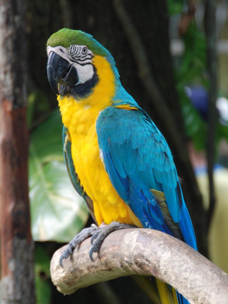 macao blu e giallo con la testa verde, su un ramo, dietro ci sono alcuni alberi