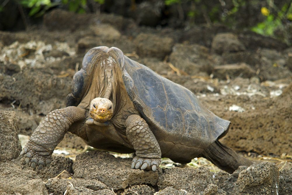 tartaruga gigante lonesome george su alcune rocce