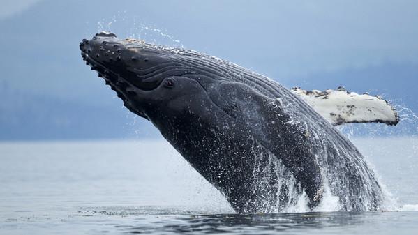 per animali più longevi del mondo, balena della groenlandia, un esemplare spunta fuori dall'acqua pronto per saltare