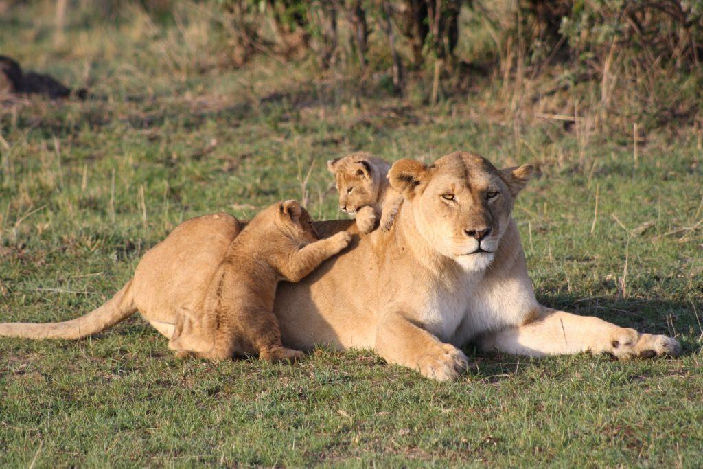 animale - una leonessa sdraiata nell'erba e due cuccioli che gli saltano addosso