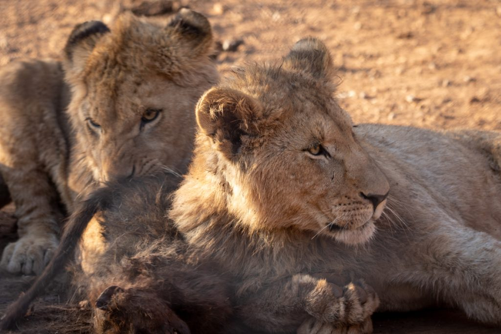 il leone sdraiato dietro la sua leonessa, l'abbraccia