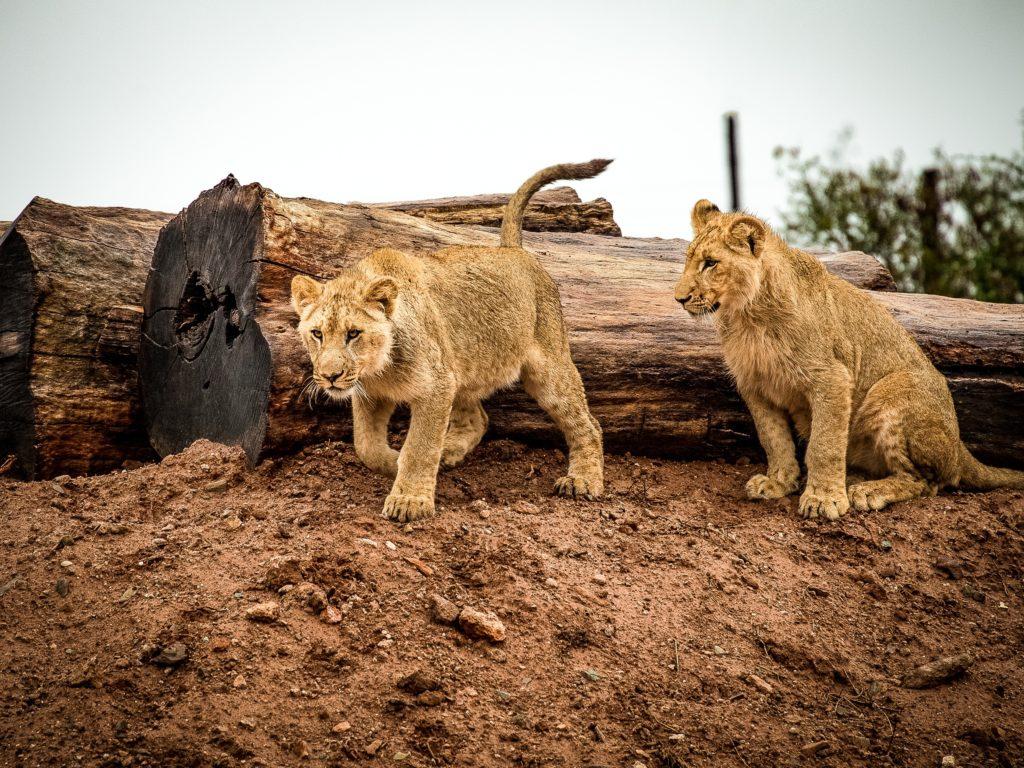 dei giovani cuccioli di leone vicino ad un tronco d'albero disteso per terra