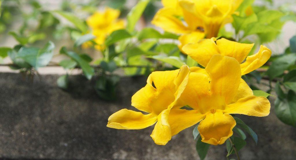 la riscoperta del naturale - una pianta di uncaria con firi gialli a campana e foglie verdi lanciforme