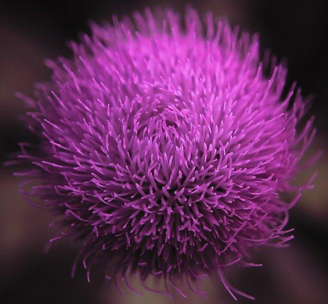 Dimagrire - nella foto il cardo mariano che si presenta come una palla viola piena di peli