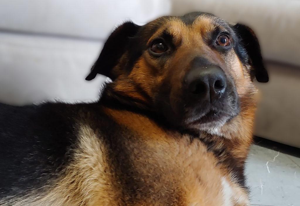 Dog Film Festival cane nella foto, un bellissimo primo piano di un pastore tedesco incrociato, con gli occhi tristi e l'espressione seria. Ha il pelo marrone e nero